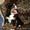 бернского зенненхунда щенки #341494