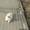 ПоПородистые БЕЛОСНЕЖНЫЕ щенки пекинеса  #894065