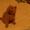 Котёнок Британский  #976663