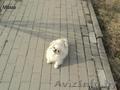 ПоПородистые БЕЛОСНЕЖНЫЕ щенки пекинеса