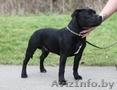 Найдена собака,  похожая на стаффорда